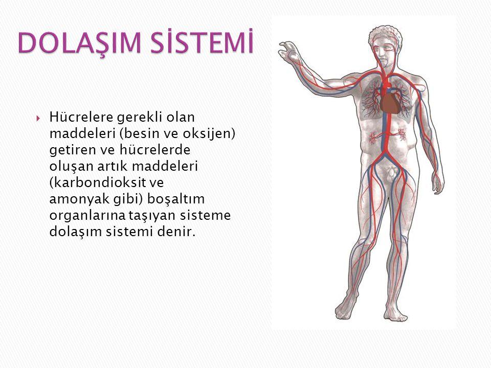  Hücrelere gerekli olan maddeleri (besin ve oksijen) getiren ve hücrelerde oluşan artık maddeleri (karbondioksit ve amonyak gibi) boşaltım organların