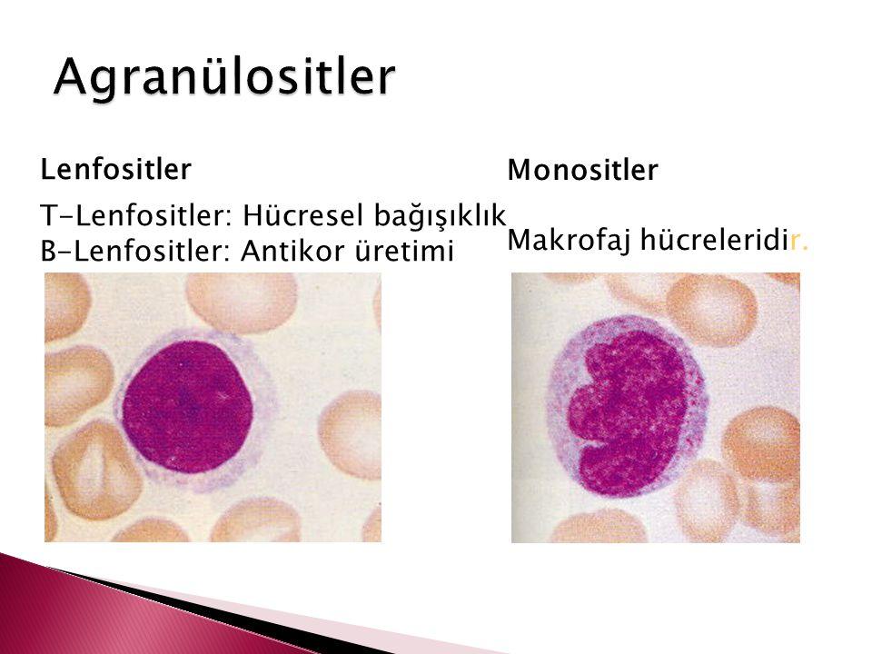 Lenfositler Monositler Makrofaj hücreleridir. T-Lenfositler: Hücresel bağışıklık B-Lenfositler: Antikor üretimi