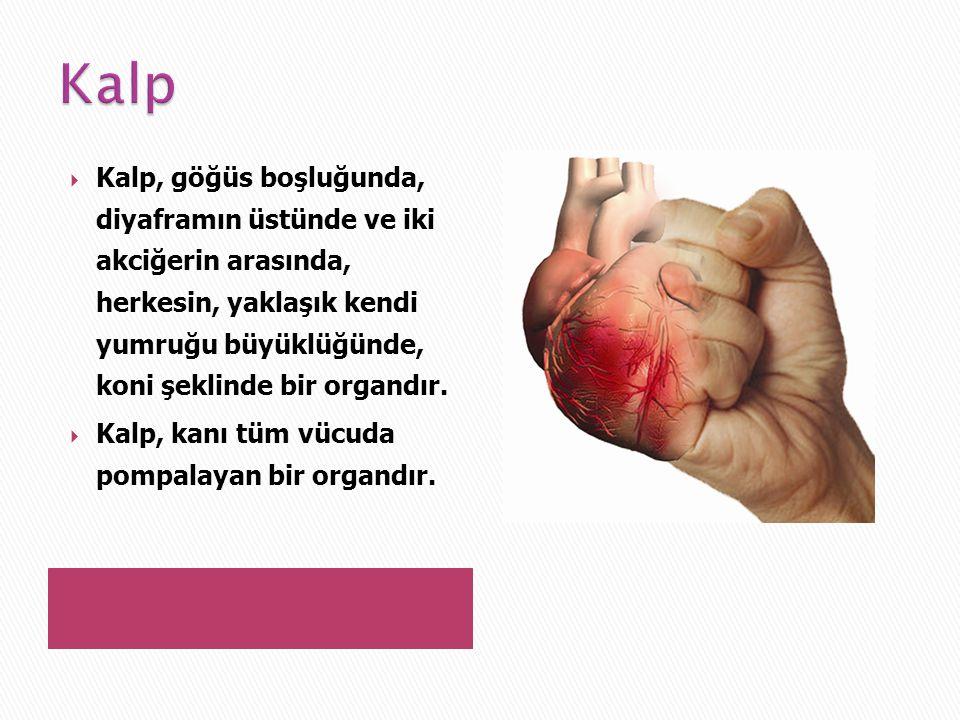  Kalp, göğüs boşluğunda, diyaframın üstünde ve iki akciğerin arasında, herkesin, yaklaşık kendi yumruğu büyüklüğünde, koni şeklinde bir organdır.  K