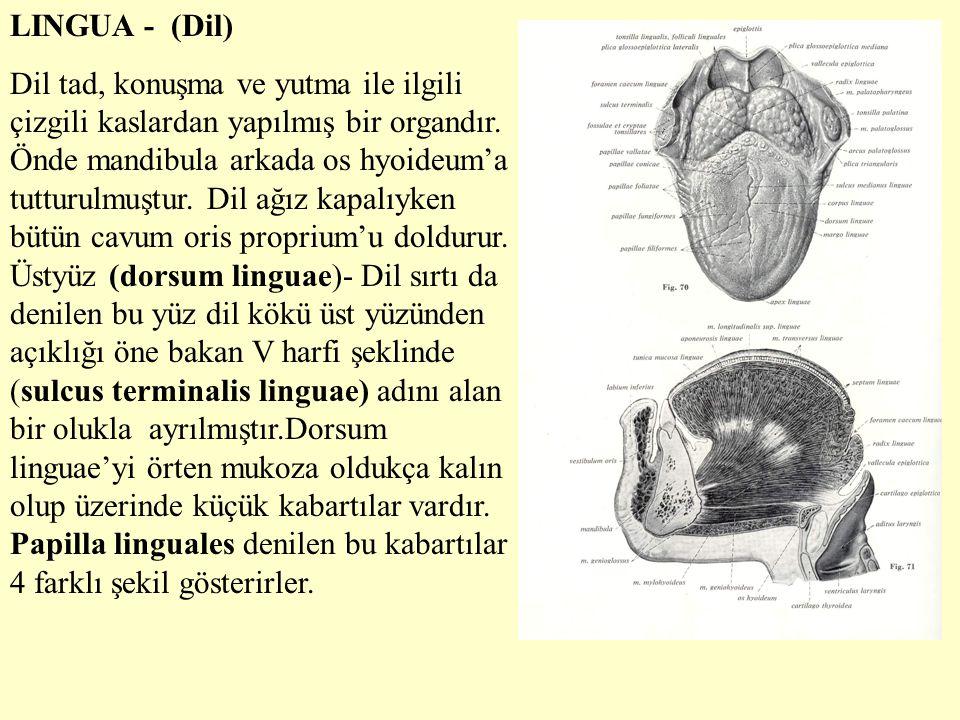 LINGUA - (Dil) Dil tad, konuşma ve yutma ile ilgili çizgili kaslardan yapılmış bir organdır. Önde mandibula arkada os hyoideum'a tutturulmuştur. Dil a