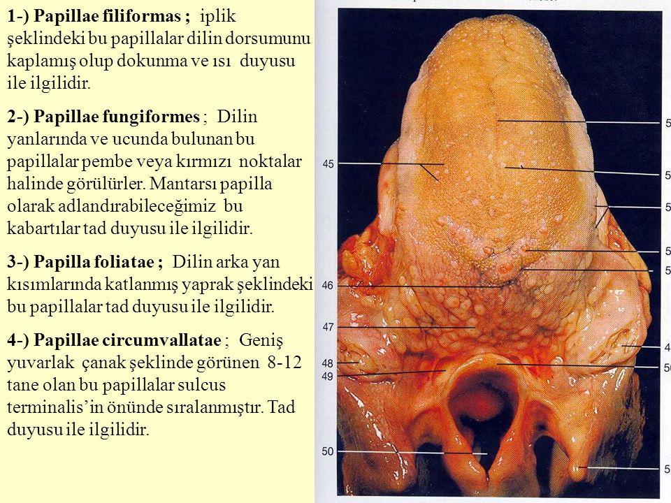1-) Papillae filiformas ; iplik şeklindeki bu papillalar dilin dorsumunu kaplamış olup dokunma ve ısı duyusu ile ilgilidir. 2-) Papillae fungiformes ;