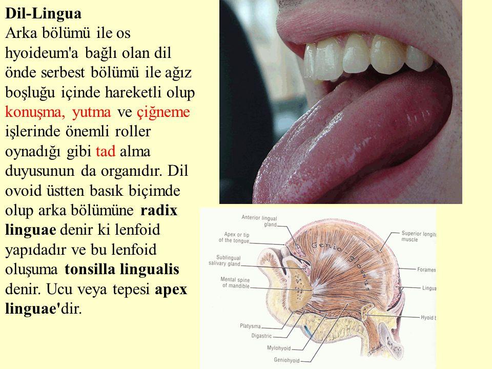 Dil-Lingua Arka bölümü ile os hyoideum'a bağlı olan dil önde serbest bölümü ile ağız boşluğu içinde hareketli olup konuşma, yutma ve çiğneme işlerinde
