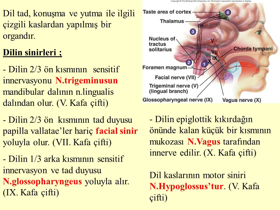 Dil tad, konuşma ve yutma ile ilgili çizgili kaslardan yapılmış bir organdır. Dilin sinirleri ; - Dilin 2/3 ön kısmının sensitif innervasyonu N.trigem