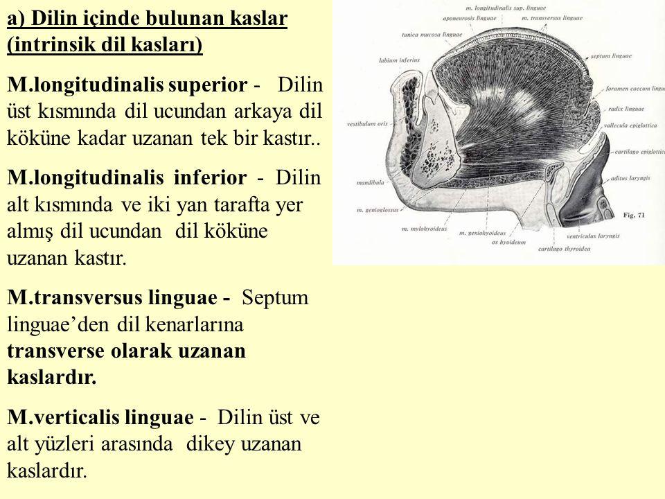 a) Dilin içinde bulunan kaslar (intrinsik dil kasları) M.longitudinalis superior - Dilin üst kısmında dil ucundan arkaya dil köküne kadar uzanan tek b