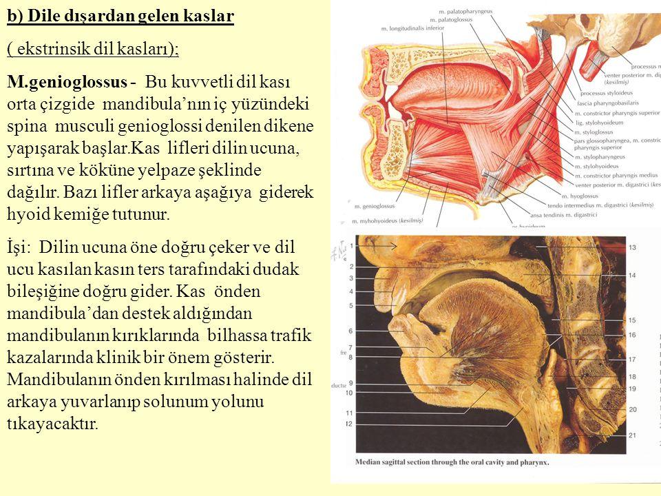 b) Dile dışardan gelen kaslar ( ekstrinsik dil kasları); M.genioglossus - Bu kuvvetli dil kası orta çizgide mandibula'nın iç yüzündeki spina musculi g