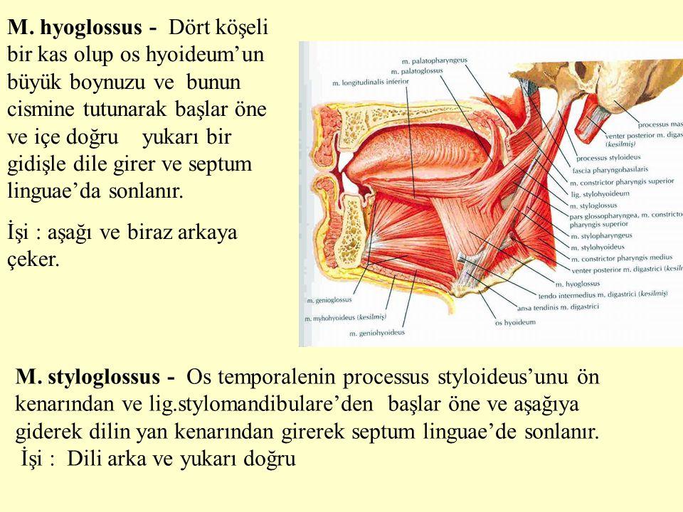 M. hyoglossus - Dört köşeli bir kas olup os hyoideum'un büyük boynuzu ve bunun cismine tutunarak başlar öne ve içe doğru yukarı bir gidişle dile girer
