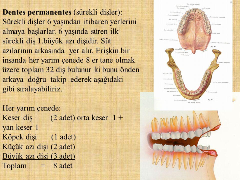Dentes permanentes (sürekli dişler): Sürekli dişler 6 yaşından itibaren yerlerini almaya başlarlar. 6 yaşında süren ilk sürekli diş 1.büyük azı dişidi