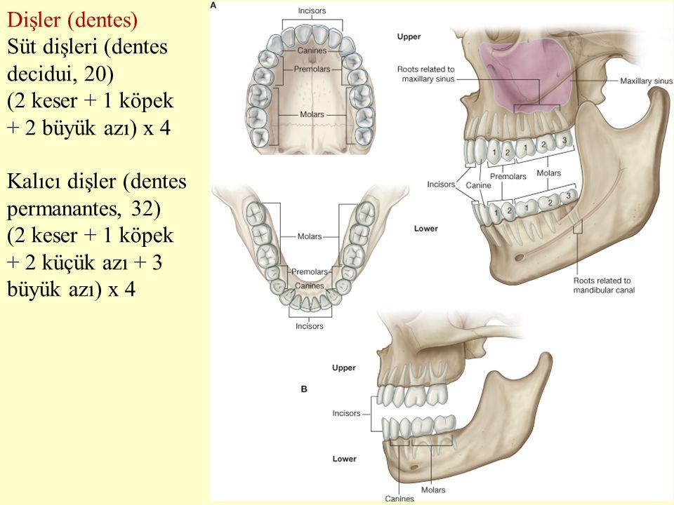 Dişler (dentes) Süt dişleri (dentes decidui, 20) (2 keser + 1 köpek + 2 büyük azı) x 4 Kalıcı dişler (dentes permanantes, 32) (2 keser + 1 köpek + 2 k