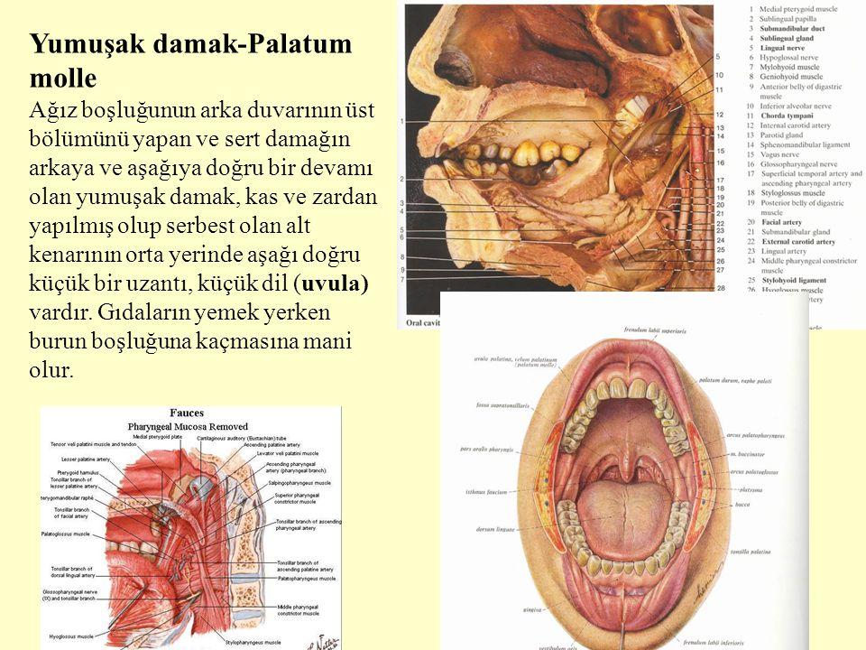 Yumuşak damak-Palatum molle Ağız boşluğunun arka duvarının üst bölümünü yapan ve sert damağın arkaya ve aşağıya doğru bir devamı olan yumuşak damak, k