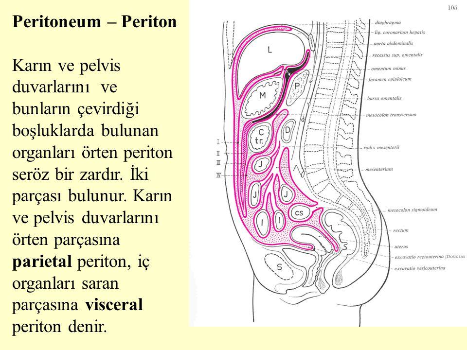 Peritoneum – Periton Karın ve pelvis duvarlarını ve bunların çevirdiği boşluklarda bulunan organları örten periton seröz bir zardır. İki parçası bulun