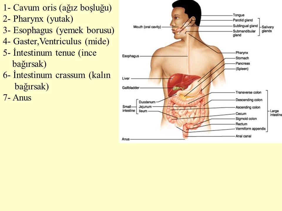 1- Cavum oris (ağız boşluğu) 2- Pharynx (yutak) 3- Esophagus (yemek borusu) 4- Gaster,Ventriculus (mide) 5- İntestinum tenue (ince bağırsak) 6- İntest