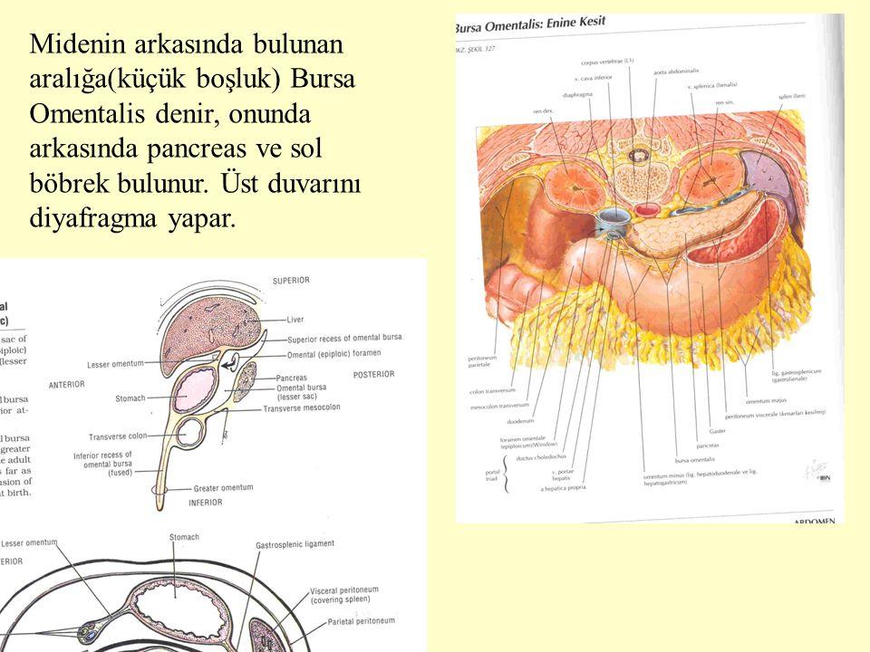 Midenin arkasında bulunan aralığa(küçük boşluk) Bursa Omentalis denir, onunda arkasında pancreas ve sol böbrek bulunur. Üst duvarını diyafragma yapar.