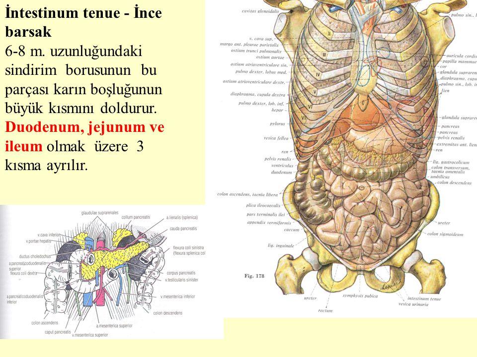 İntestinum tenue - İnce barsak 6-8 m. uzunluğundaki sindirim borusunun bu parçası karın boşluğunun büyük kısmını doldurur. Duodenum, jejunum ve ileum