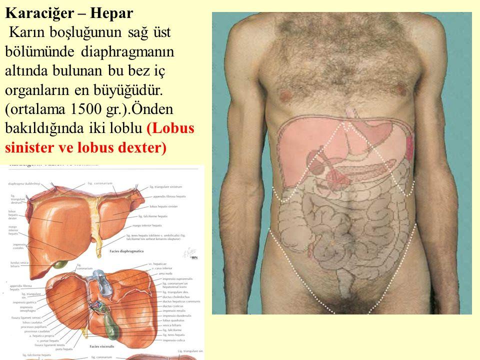 Karaciğer – Hepar Karın boşluğunun sağ üst bölümünde diaphragmanın altında bulunan bu bez iç organların en büyüğüdür. (ortalama 1500 gr.).Önden bakıld