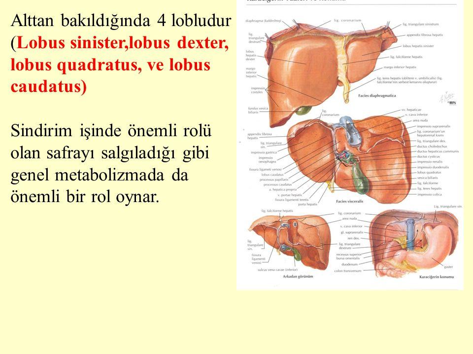 Alttan bakıldığında 4 lobludur (Lobus sinister,lobus dexter, lobus quadratus, ve lobus caudatus) Sindirim işinde önemli rolü olan safrayı salgıladığı