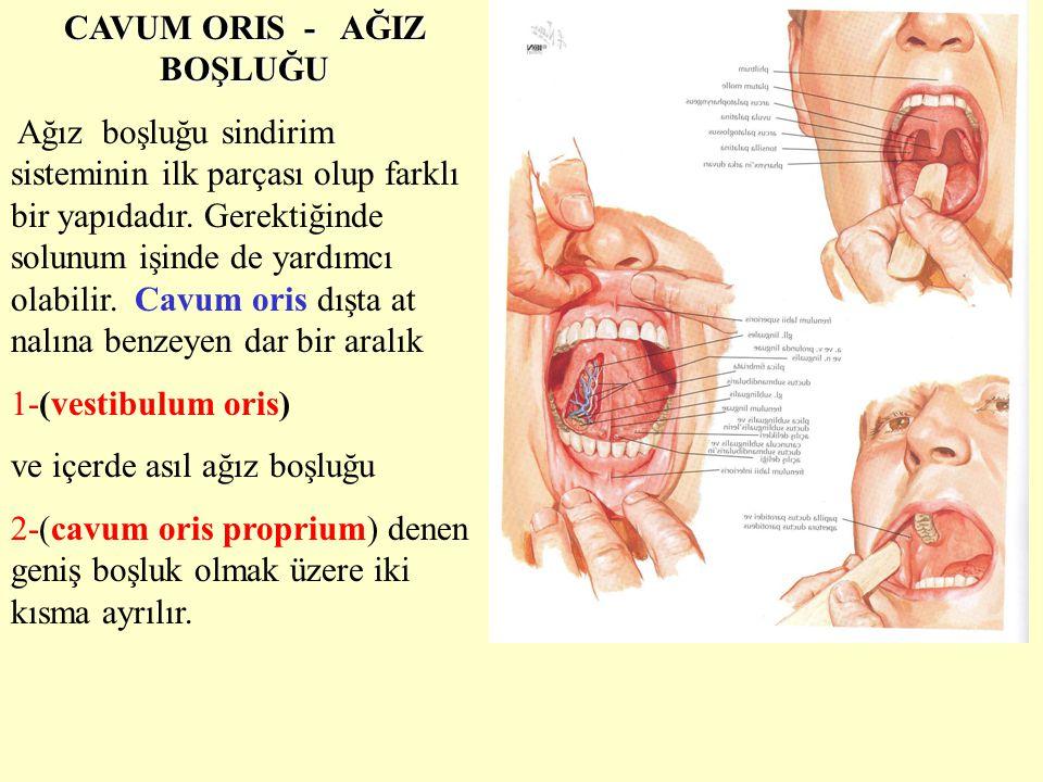 CAVUM ORIS - AĞIZ BOŞLUĞU Ağız boşluğu sindirim sisteminin ilk parçası olup farklı bir yapıdadır. Gerektiğinde solunum işinde de yardımcı olabilir. Ca
