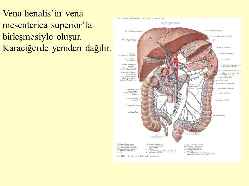 Vena lienalis'in vena mesenterica superior'la birleşmesiyle oluşur. Karaciğerde yeniden dağılır.