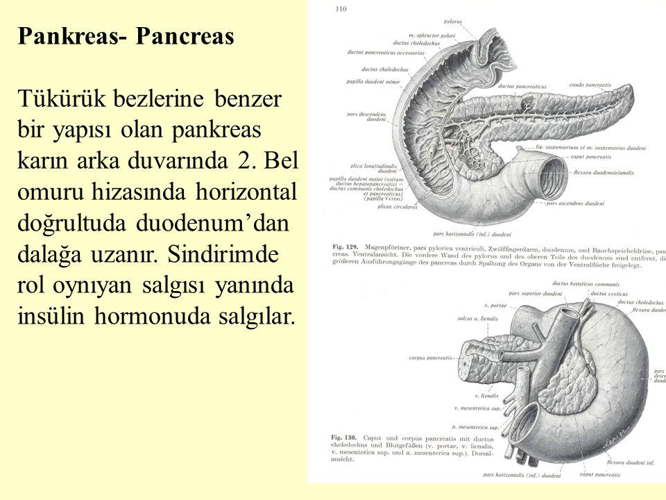 Pankreas- Pancreas Tükürük bezlerine benzer bir yapısı olan pankreas karın arka duvarında 2. Bel omuru hizasında horizontal doğrultuda duodenum'dan da