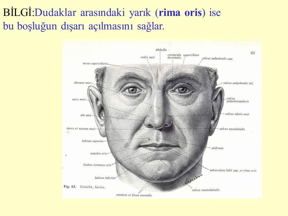 b) Dile dışardan gelen kaslar ( ekstrinsik dil kasları); M.genioglossus - Bu kuvvetli dil kası orta çizgide mandibula'nın iç yüzündeki spina musculi genioglossi denilen dikene yapışarak başlar.Kas lifleri dilin ucuna, sırtına ve köküne yelpaze şeklinde dağılır.