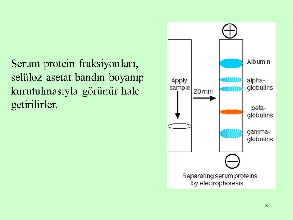 3 Serum protein fraksiyonları, selüloz asetat bandın boyanıp kurutulmasıyla görünür hale getirilirler.