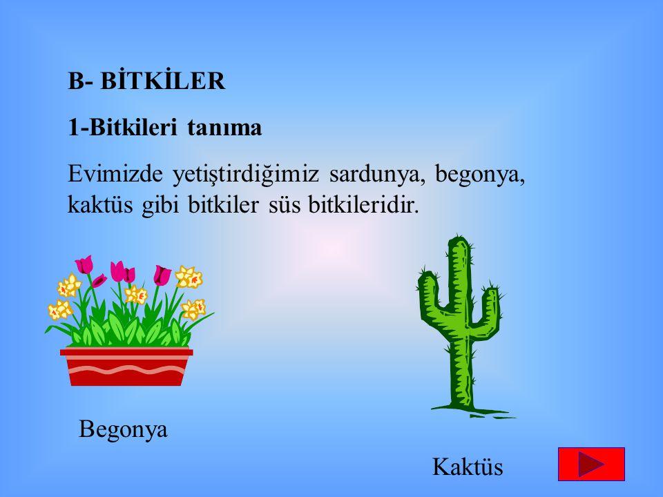 B- BİTKİLER 1-Bitkileri tanıma Evimizde yetiştirdiğimiz sardunya, begonya, kaktüs gibi bitkiler süs bitkileridir. Begonya Kaktüs