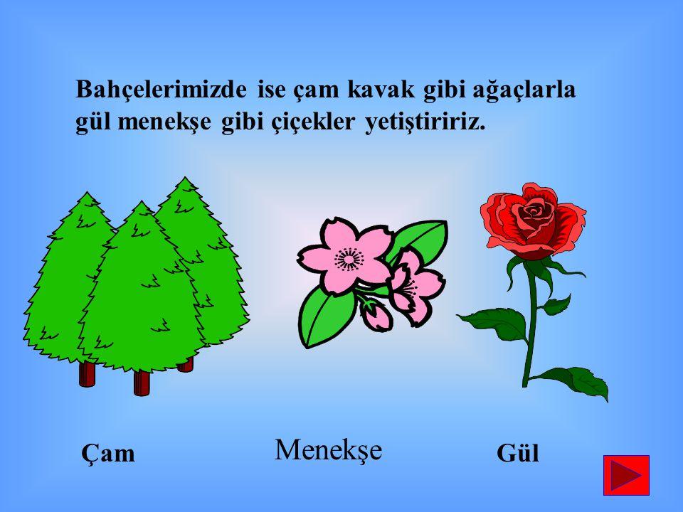 Bahçelerimizde ise çam kavak gibi ağaçlarla gül menekşe gibi çiçekler yetiştiririz. ÇamGül Menekşe