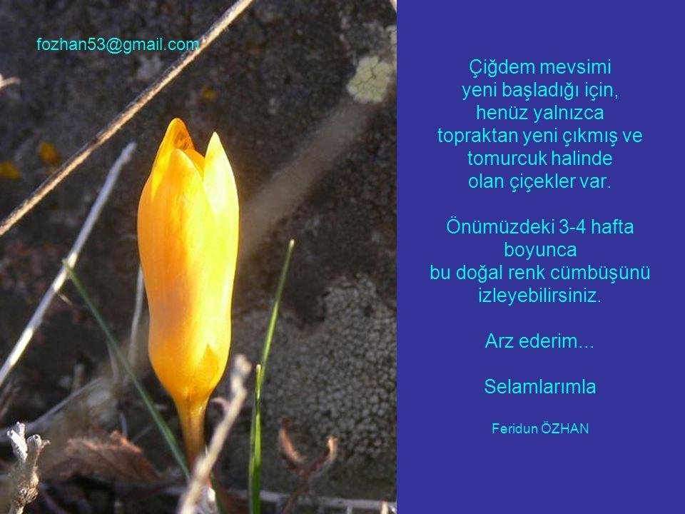 Çiğdem mevsimi yeni başladığı için, henüz yalnızca topraktan yeni çıkmış ve tomurcuk halinde olan çiçekler var.