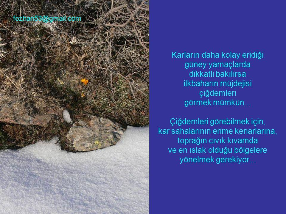 Karların daha kolay eridiği güney yamaçlarda dikkatli bakılırsa ilkbaharın müjdejisi çiğdemleri görmek mümkün... Çiğdemleri görebilmek için, kar sahal