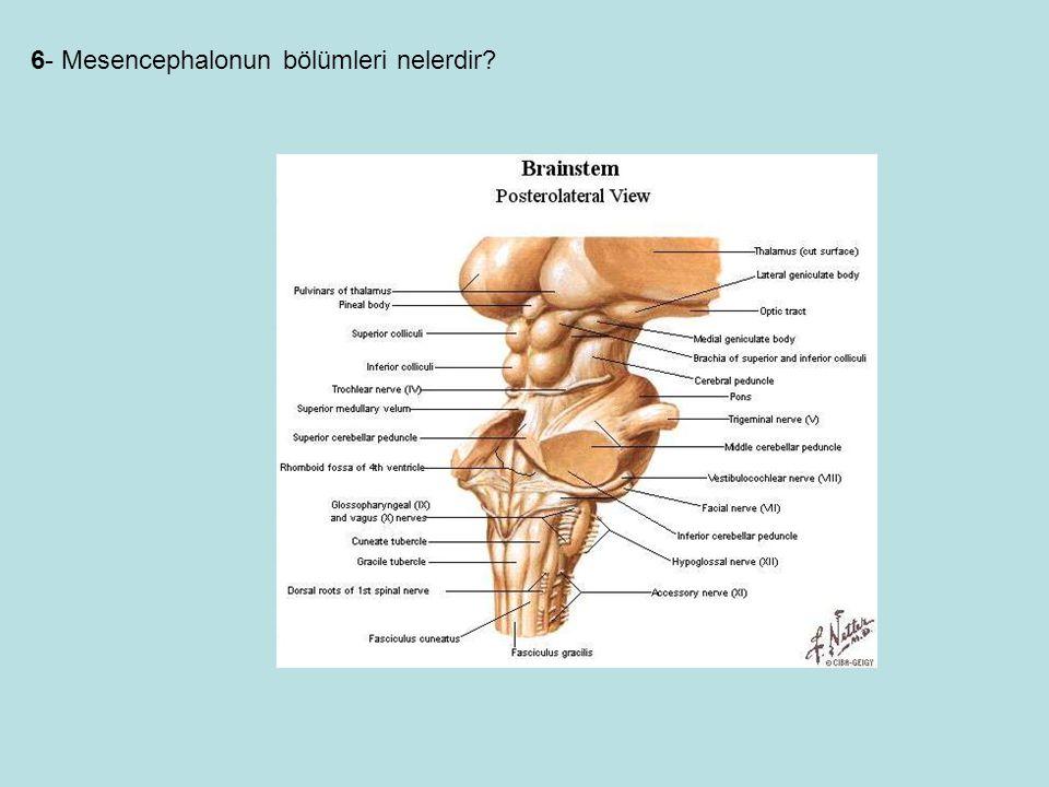 6- Mesencephalonun bölümleri nelerdir?