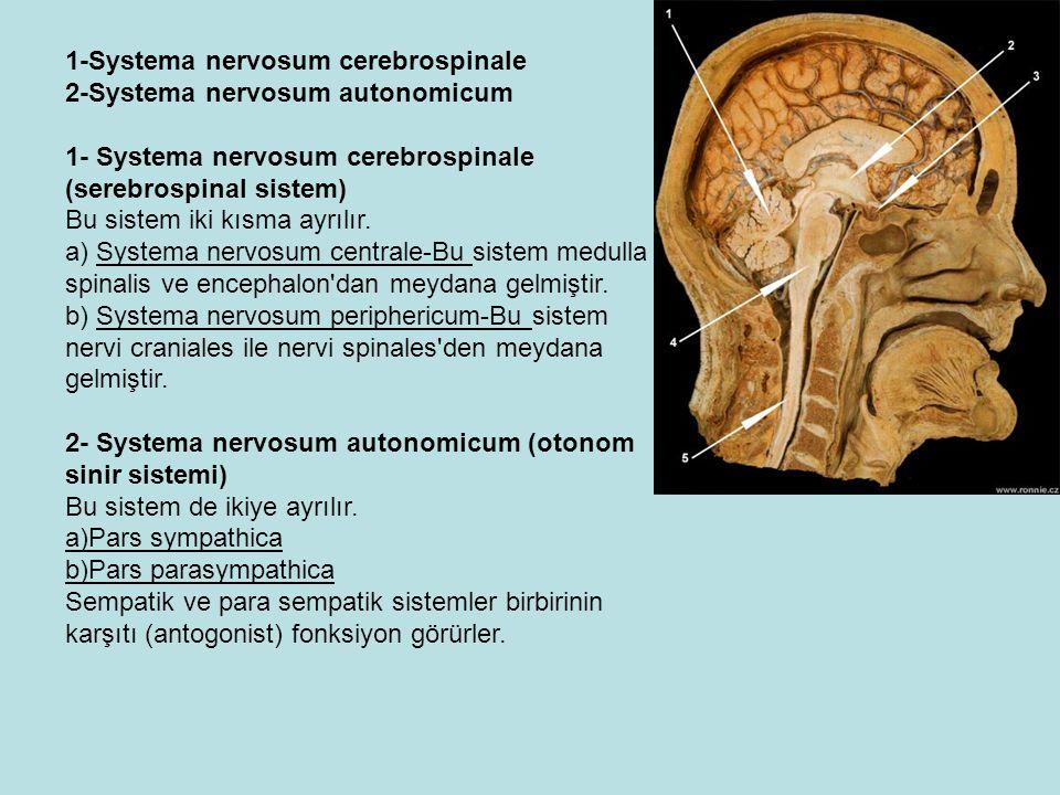 2- Santral sinir sistemini saran zarların isimlerini yazınız?