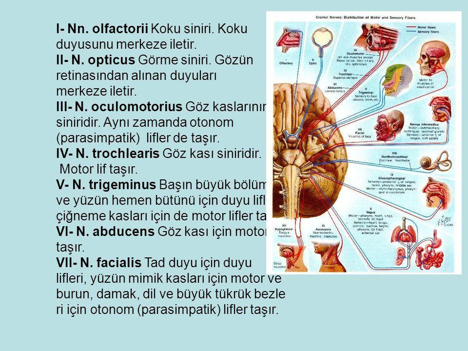 I- Nn.olfactorii Koku siniri. Koku duyusunu merkeze iletir.