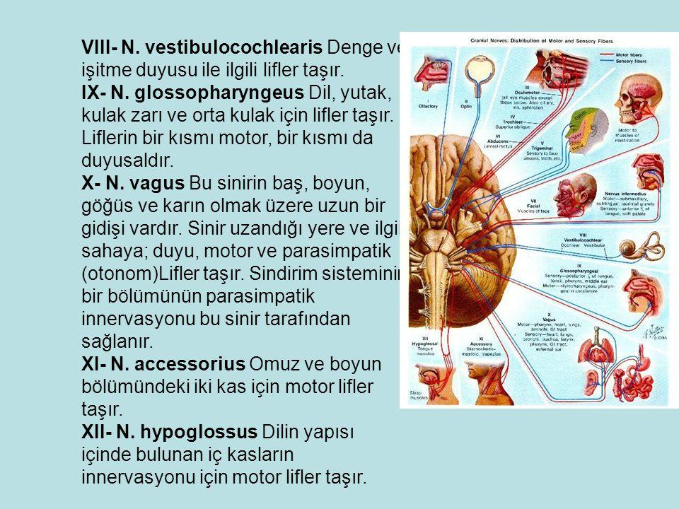 VIII- N.vestibulocochlearis Denge ve işitme duyusu ile ilgili lifler taşır.