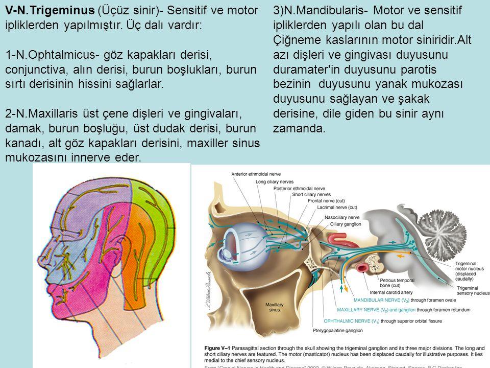 V-N.Trigeminus (Üçüz sinir)- Sensitif ve motor ipliklerden yapılmıştır.