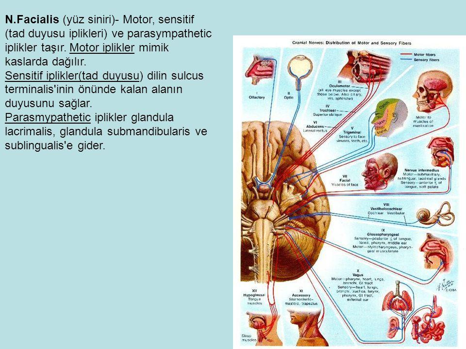N.Facialis (yüz siniri)- Motor, sensitif (tad duyusu iplikleri) ve parasympathetic iplikler taşır.