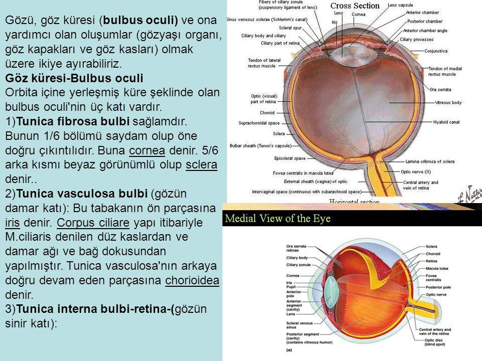 Gözü, göz küresi (bulbus oculi) ve ona yardımcı olan oluşumlar (gözyaşı organı, göz kapakları ve göz kasları) olmak üzere ikiye ayırabiliriz.