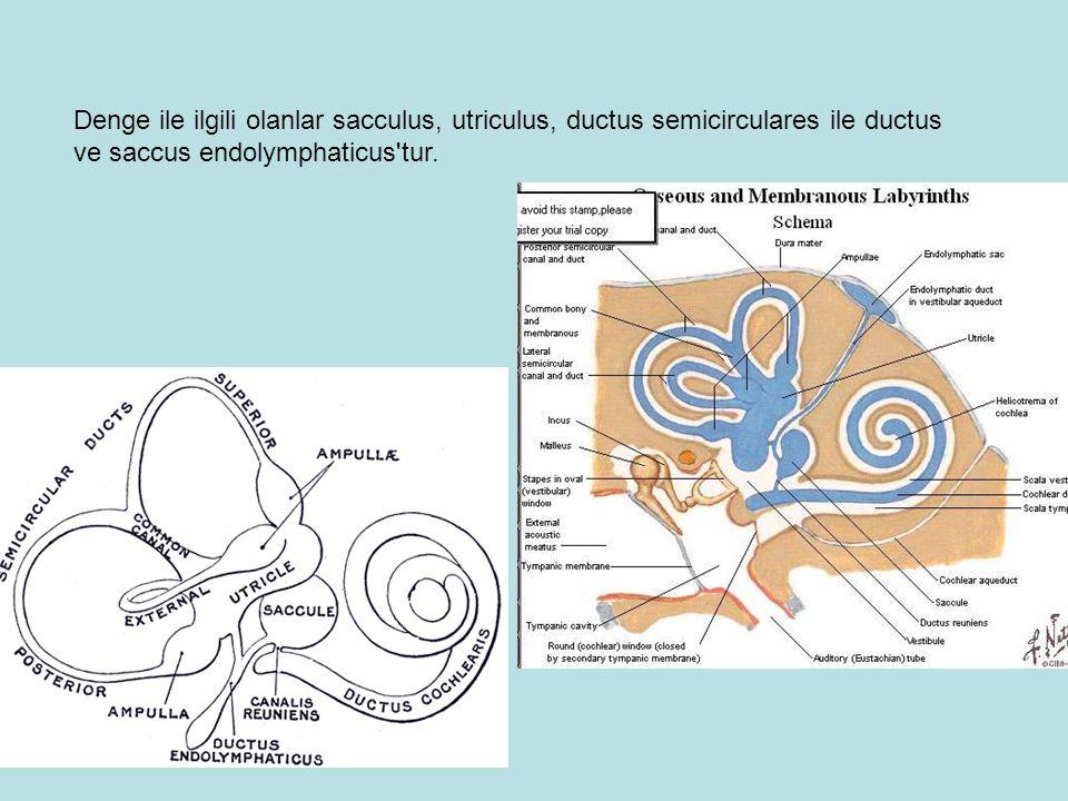 Denge ile ilgili olanlar sacculus, utriculus, ductus semicirculares ile ductus ve saccus endolymphaticus tur.