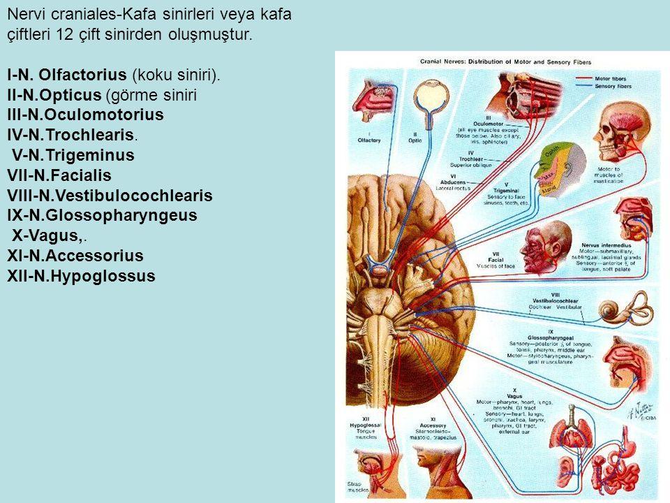 Nervi craniales-Kafa sinirleri veya kafa çiftleri 12 çift sinirden oluşmuştur.