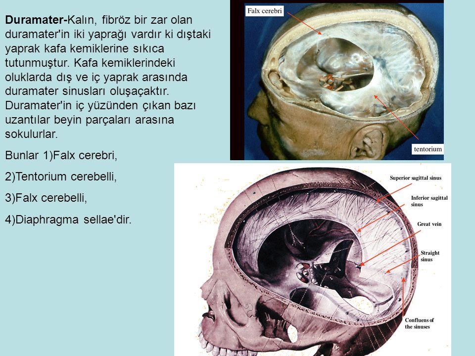 Duramater-Kalın, fibröz bir zar olan duramater in iki yaprağı vardır ki dıştaki yaprak kafa kemiklerine sıkıca tutunmuştur.