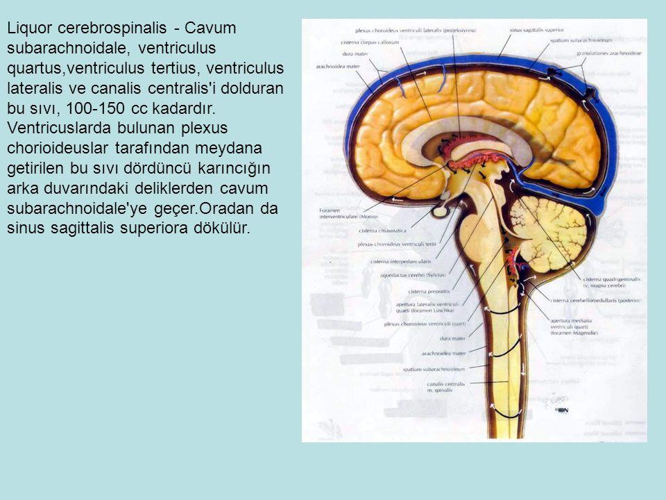 Liquor cerebrospinalis - Cavum subarachnoidale, ventriculus quartus,ventriculus tertius, ventriculus lateralis ve canalis centralis i dolduran bu sıvı, 100-150 cc kadardır.