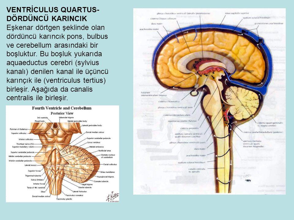 VENTRİCULUS QUARTUS- DÖRDÜNCÜ KARINCIK Eşkenar dörtgen şeklinde olan dördüncü karıncık pons, bulbus ve cerebellum arasındaki bir boşluktur.