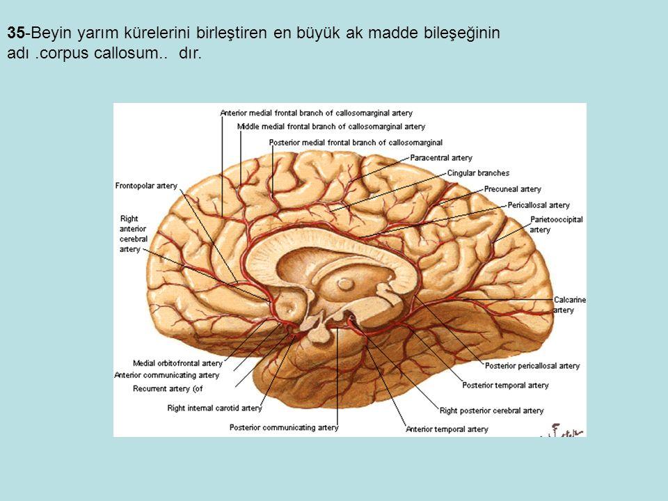35-Beyin yarım kürelerini birleştiren en büyük ak madde bileşeğinin adı.corpus callosum.. dır.