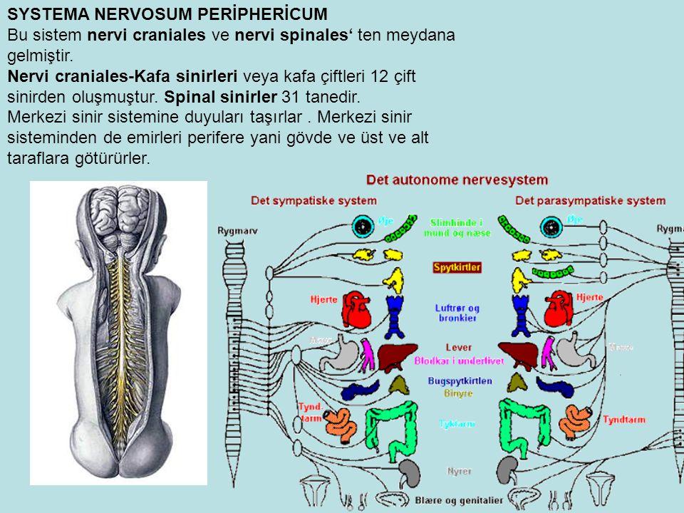 SYSTEMA NERVOSUM PERİPHERİCUM Bu sistem nervi craniales ve nervi spinales' ten meydana gelmiştir.