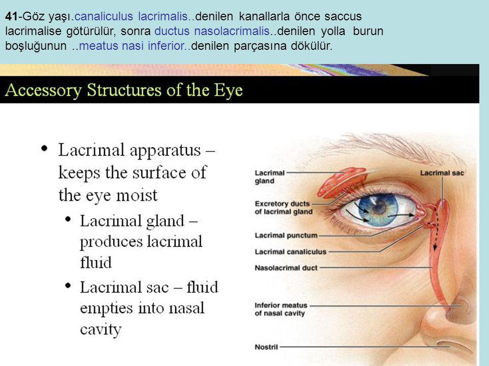 41-Göz yaşı.canaliculus lacrimalis..denilen kanallarla önce saccus lacrimalise götürülür, sonra ductus nasolacrimalis..denilen yolla burun boşluğunun..meatus nasi inferior..denilen parçasına dökülür.