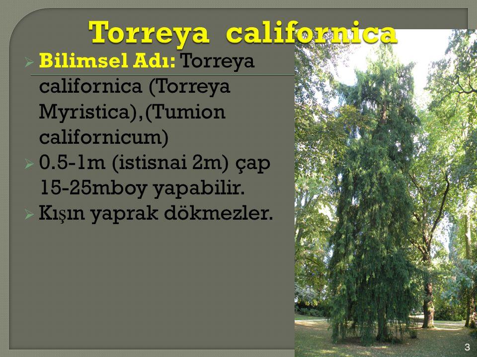  Bilimsel Adı: Torreya californica (Torreya Myristica),(Tumion californicum)  0.5-1m (istisnai 2m) çap 15-25mboy yapabilir.