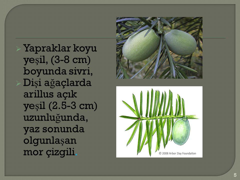  Yapraklar koyu ye ş il, (3-8 cm) boyunda sivri,  Di ş i a ğ açlarda arillus açık ye ş il (2.5-3 cm) uzunlu ğ unda, yaz sonunda olgunla ş an mor çizgili.