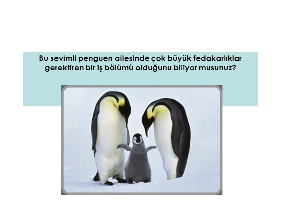 Dişi penguenler bir yumurta yumurtlar ve kuluçka görevini erkeklerine devredip denizlere açılırlar