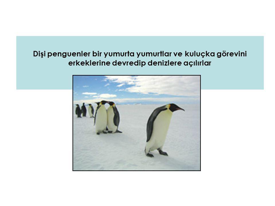 Ve erkek penguen kuluçkaya yatar… SÜRE 4 AYDIR