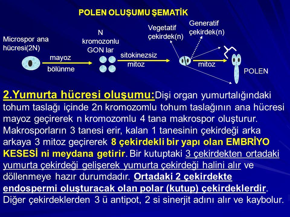 POLEN OLUŞUMU ŞEMATİK Microspor ana hücresi(2N) mayoz bölünme sitokinezsiz mitoz POLEN Generatif çekirdek(n) Vegetatif çekirdek(n) mitoz N kromozonlu