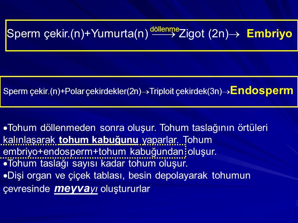 Sperm çekir.(n)+Yumurta(n)  Zigot (2n)  Embriyo döllenme Sperm çekir.(n)+Polar çekirdekler(2n)  Triploit çekirdek(3n)  Endosperm  Tohum döllenme