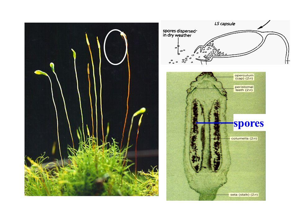 KARA YOSUNLARI:Bahçıvanlar kara yosunlarını toprağı zenginleştirmek ve nemli tutmak için kullanırlar.